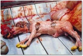 e0619-factory-farming-slaughtered-newborn-male-calf